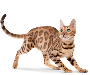 Фест Чойс для кошек